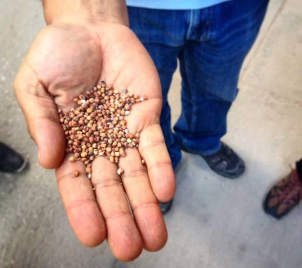 El sorgo orgánico que se producen en los ejidos aledaños a la granja Josefina, constituye el 65% de la alimentación de los pollos.