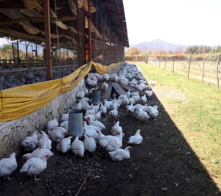 pollosfelices9